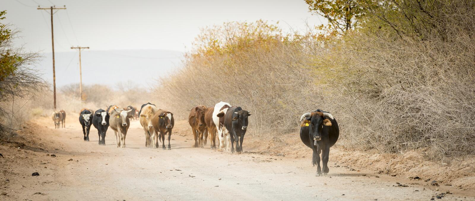 Herd of Cattle. Moving down a dusty road in Botswana, Africa royalty free stock photo