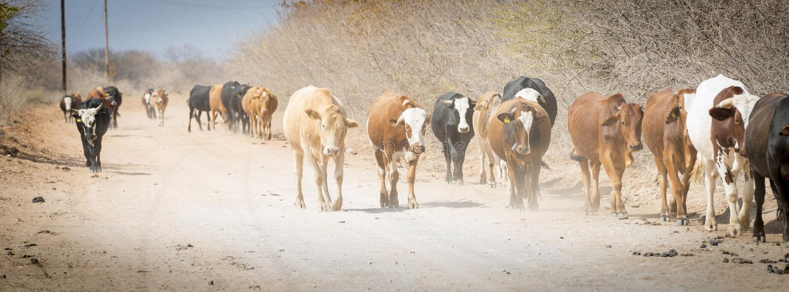 Herd of Cattle. Moving down a dusty road in Botswana, Africa royalty free stock photography