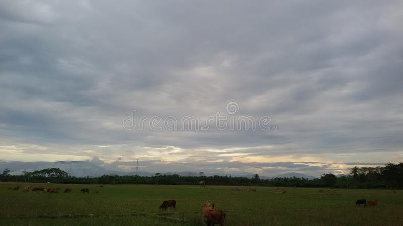 Herd of cattle near the foot of the mountain. Cattle landscape rice field jungle horizon cloud mountain lhoksukon,north aceh, indonesia royalty free stock photos