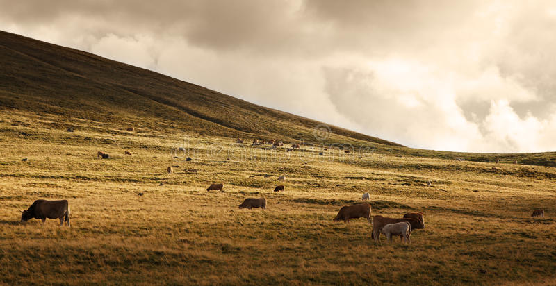Herd of cattle at sunset