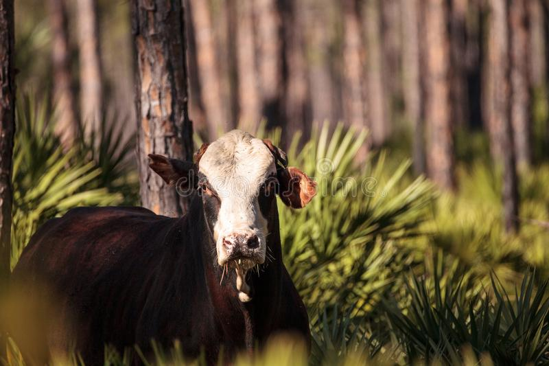 Herd of cattle travel through a marsh in Louisiana stock photos