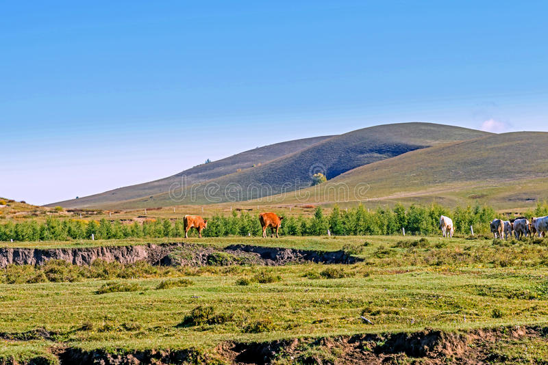 A herd of cattle on The vast grassland stock photo
