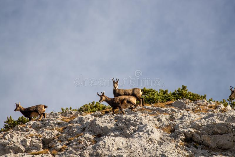 A herd of chamoises on mountain top.  stock photo