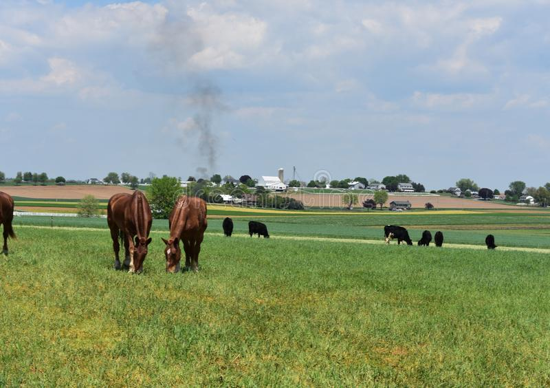 Herd of Chestnut Horses and Black Cows on a Farm royalty free stock images
