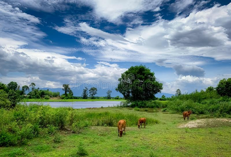 Herd of cow grazing green grass in meadow. Brown cow in pasture. Beef cow cattle farming. Livestock. Animal farm field near river. And mountain. Landscape of stock photos