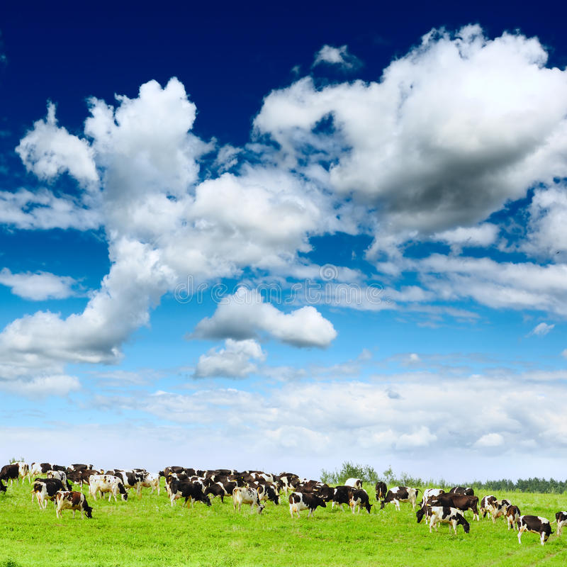 Download Herd Cows Stock Photography - Image: 21005642