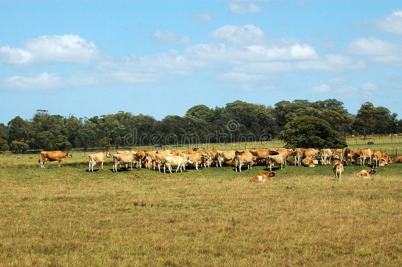 Download Cows on farm stock image. Image of green, herd, eating - 2199037