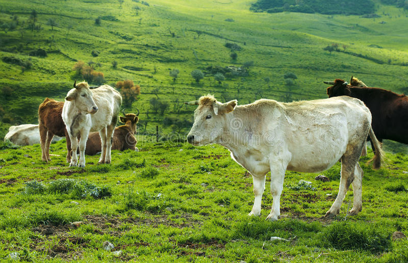 Download Herd Of Cows Royalty Free Stock Images - Image: 24850899