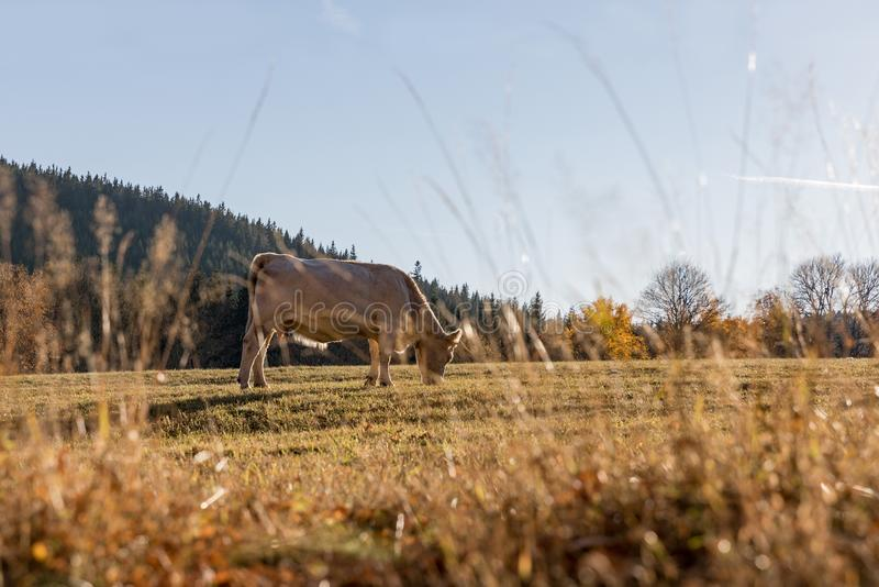 A herd of cows on autumn pasture. Autumn meadow and cow stock images