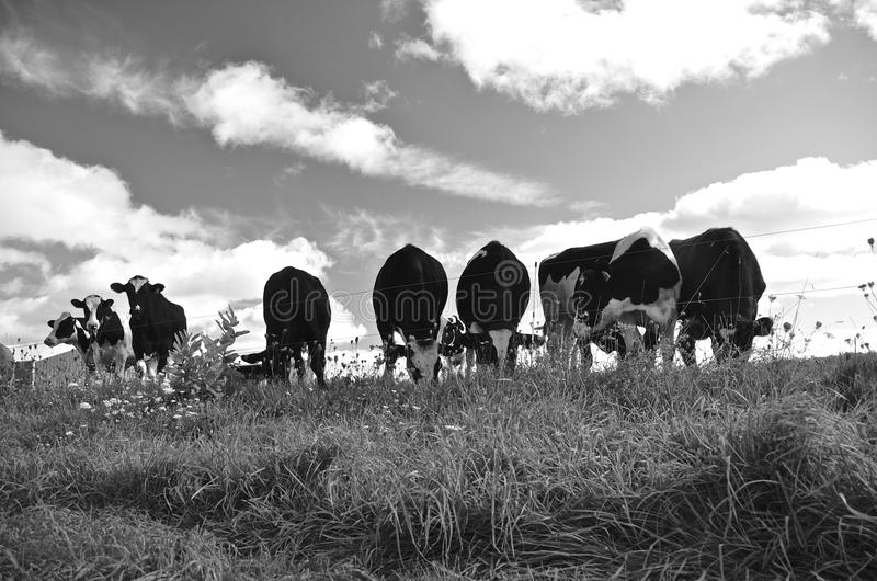 Herd of cows(black and white). A herd of cows graze in a pasture royalty free stock photography