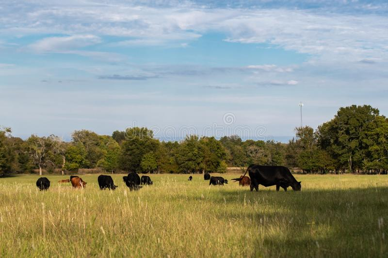 Herd of cows and calves in afternoon sun. Herd of commercial beef cows and calves in a late summer pasture on a sunny day stock photo