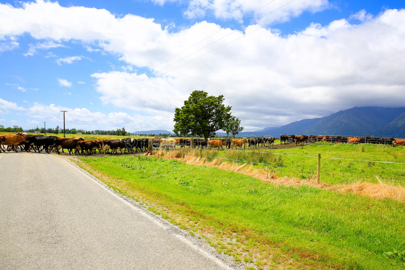 Herd of cows crossing the road in Fox Glacier, New Zealand.  royalty free stock photos