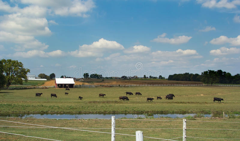Herd of cows on farm in Lancaster, PA stock photography