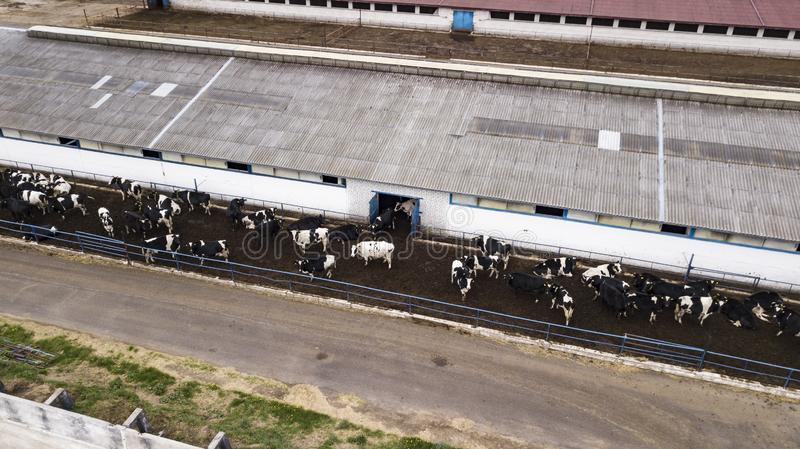 Herd of cows on the farm view from the drone royalty free stock images
