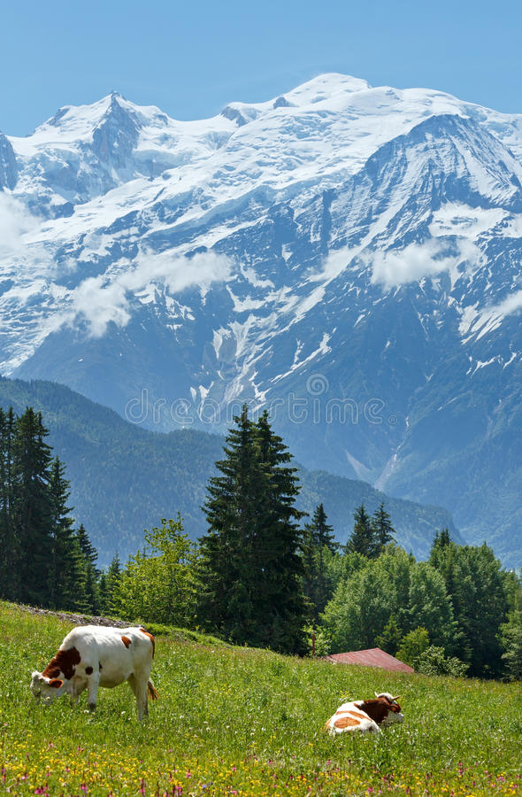 Herd cows on glade and Mont Blanc mountain massif (view from Plaine Joux outskirts) stock image