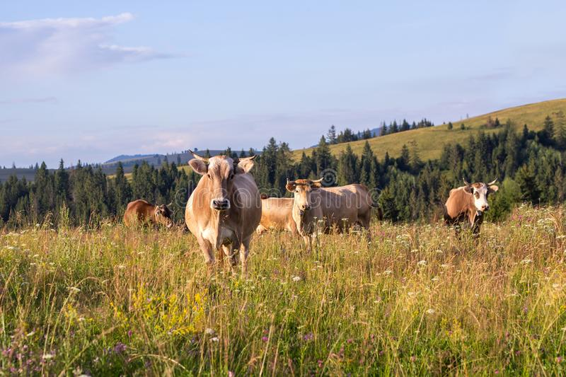 Herd of cows graze on a summer grass meadow on the sunset.  royalty free stock photo