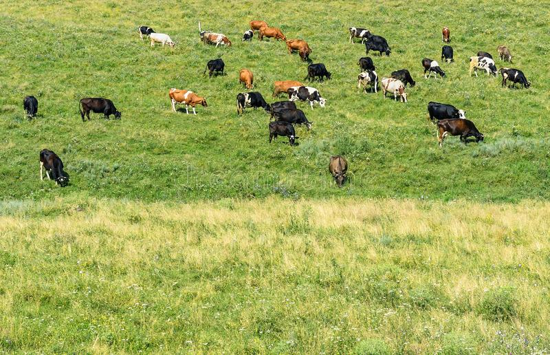 Herd cows grazes on green spring pasture. stock photography