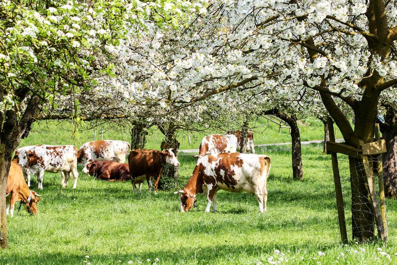 Herd of cows grazing in a blooming orchard stock image
