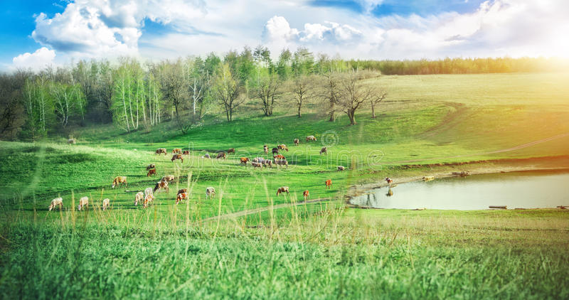 Herd of cows grazing on a green meadow near the lake in the hills at sunny summer day. The picturesque landscape. Dairy farm. stock photography