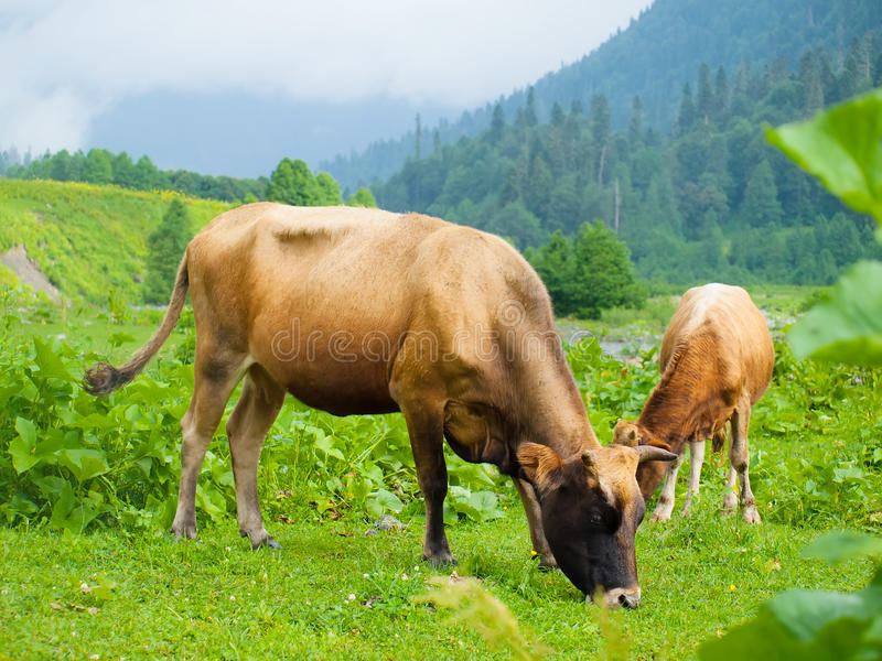Herd of cows grazing on a meadow stock photo