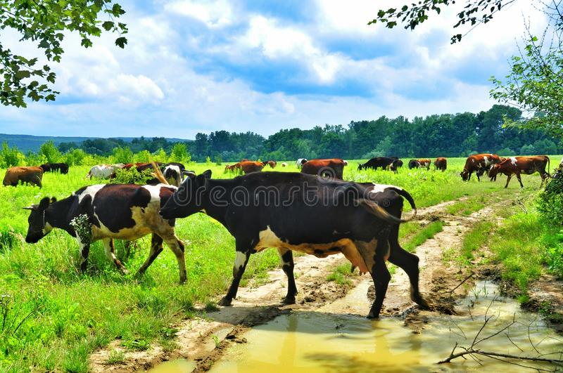 Herd of cows grazing in meadow. Cows grazing on a green lush meadow royalty free stock photography