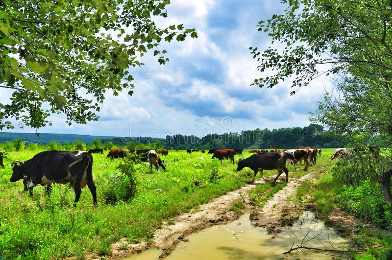 Herd of cows grazing in meadow. Cows grazing on a green lush meadow stock photos