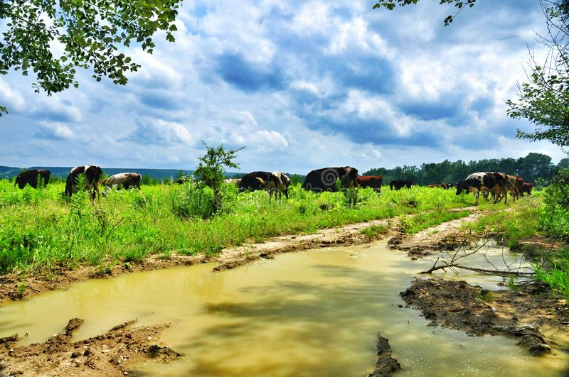 Herd of cows grazing in meadow. Cows grazing on a green lush meadow royalty free stock images
