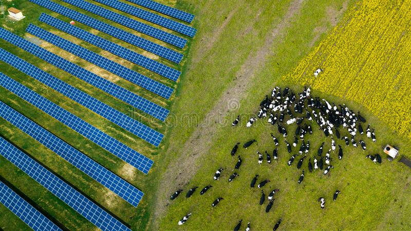 A herd of cows grazing near a solar power plant stock photography