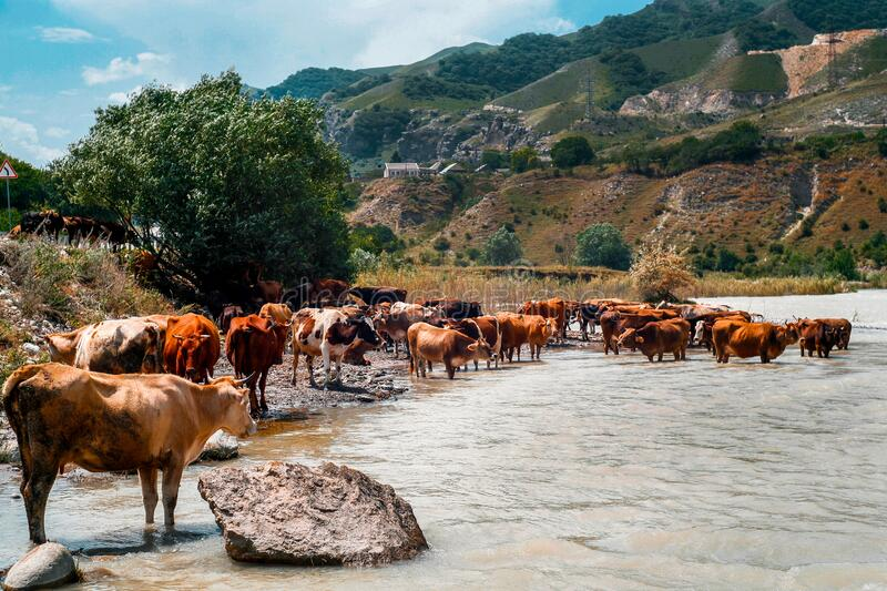 A herd of cows with horns, near the river, in the summer. Blue sky high mountains and brown river. Beautiful rural landscape. Horizontal photo in good quality royalty free stock image