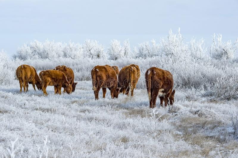 A herd of cows in the Kalmyk steppe in the winter. All vegetation covered with a thick layer of frost royalty free stock photos
