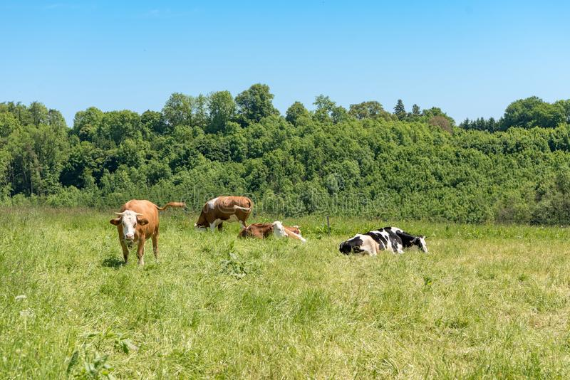 Herd of cows on a lush green pasture. Behind the meadow is a small forest royalty free stock photos
