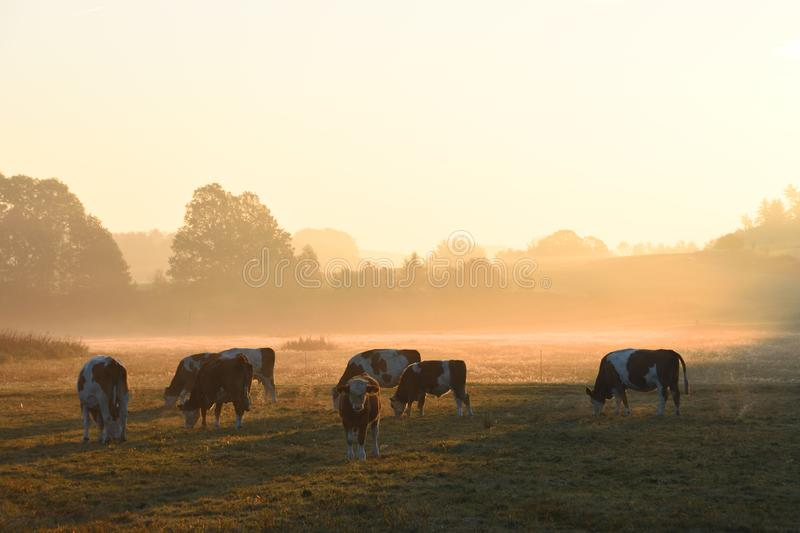 A herd of cows royalty free stock photography
