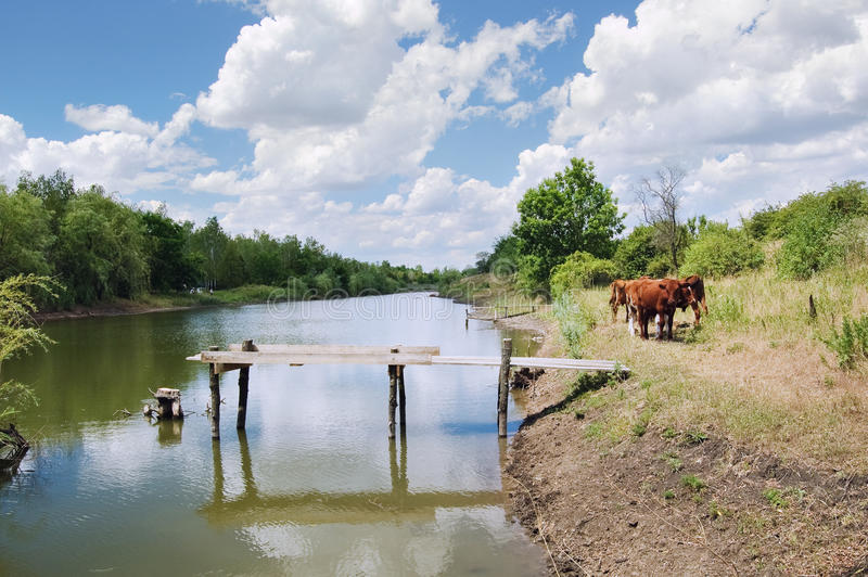A herd of cows near the pond
