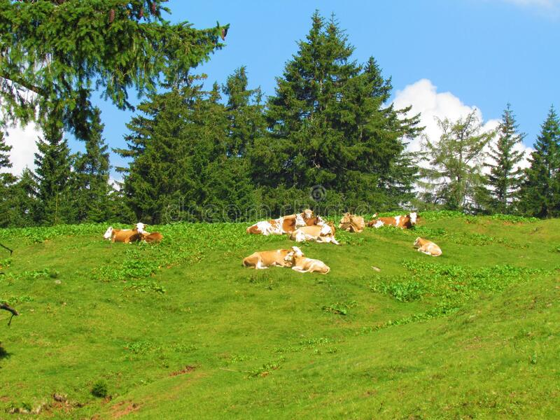 A herd of cows resting on a pasture stock image