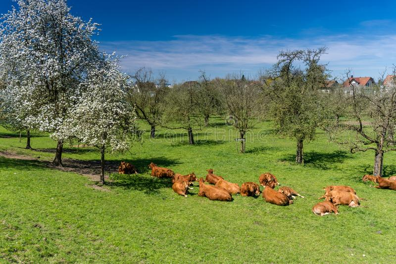 Herd of cows resting in midst of an orchard with blossoming trees and enjoying the fresh green grass. A herd of cows resting in midst of an orchard with royalty free stock image