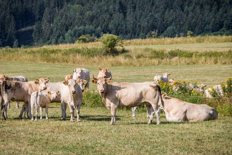 Herd of cows on summer pasture stock photo