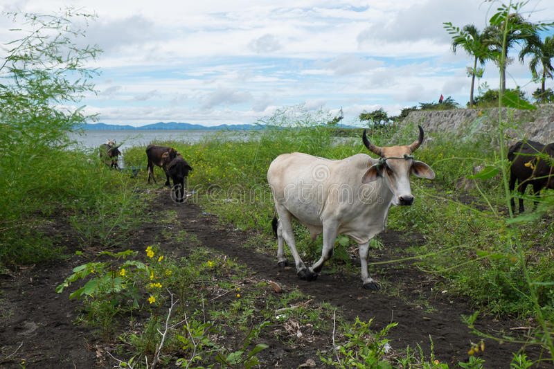 A herd of cows walking along the beach in nicaragua royalty free stock photos