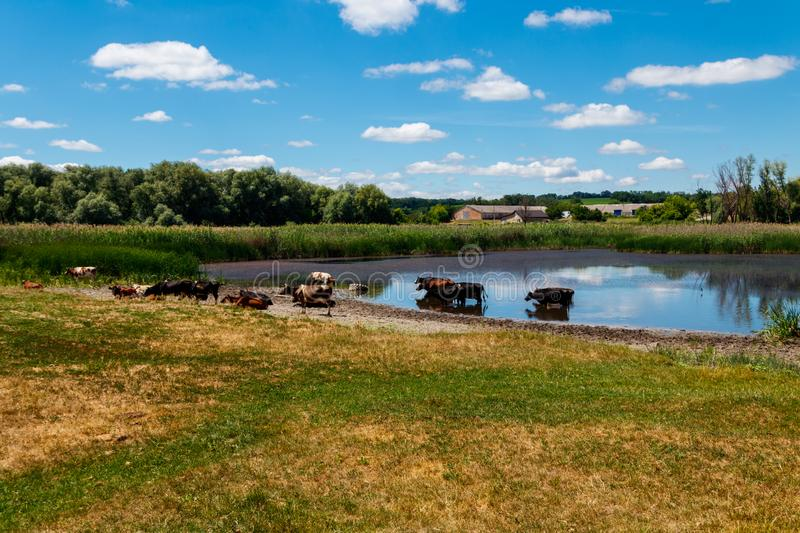 Herd of cows at watering place royalty free stock photo