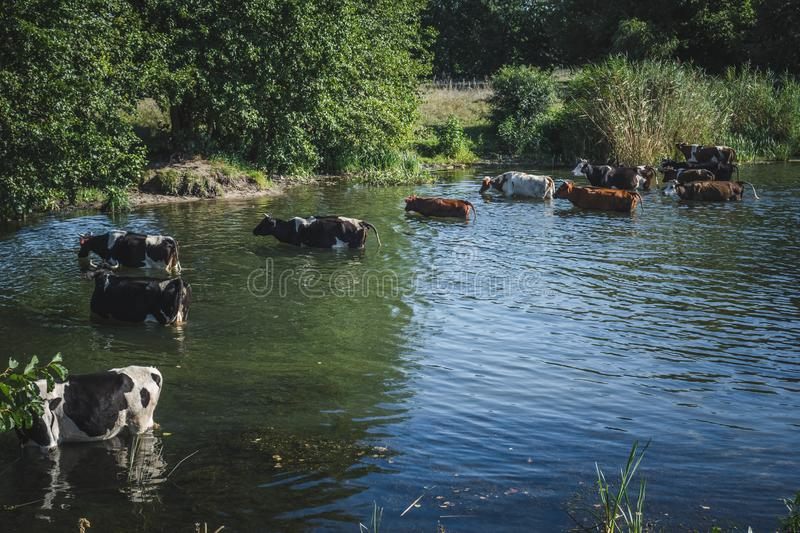 a herd of cows at a watering place near a small river royalty free stock photo