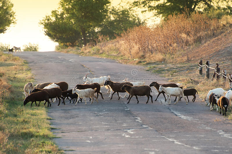 The herd crossing the road in the evening stock photography