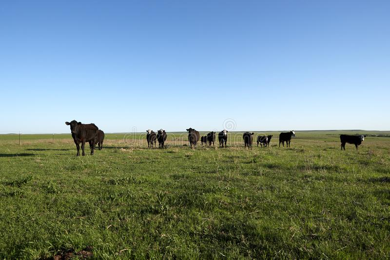 Herd of curious black beef cattle in a pasture royalty free stock photos