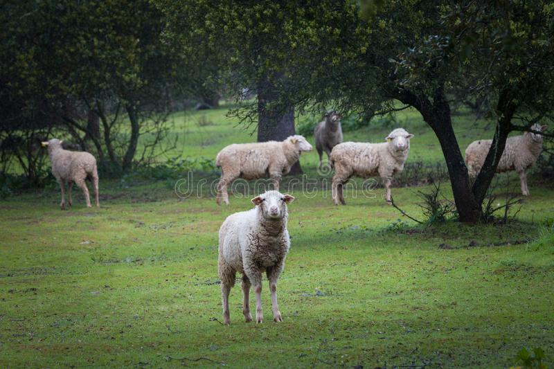 Herd of curious sheep looking at the camera royalty free stock images