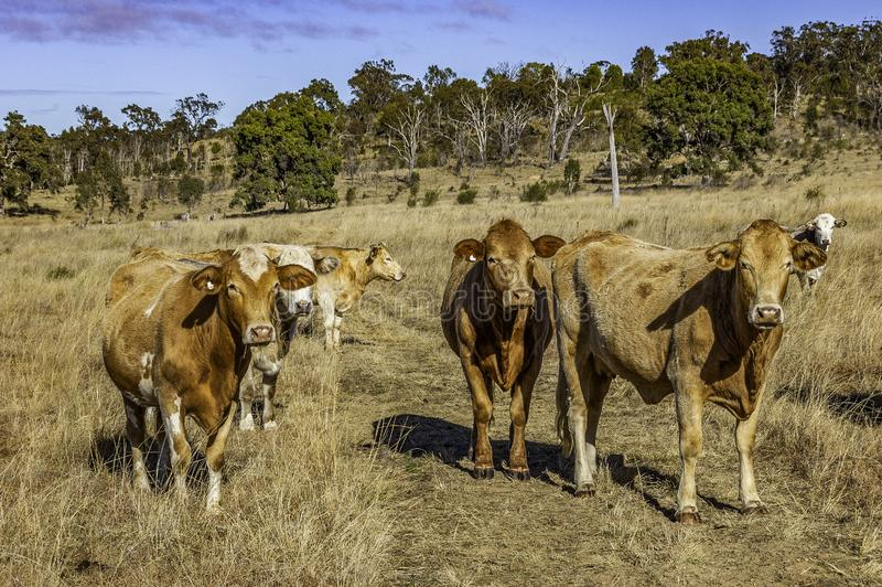 Herd of curious young Charolais cross Brahman cattle. On grazing land on an Australian cattle property, South East Queensland. Charbray, a versatile beef breed royalty free stock photos