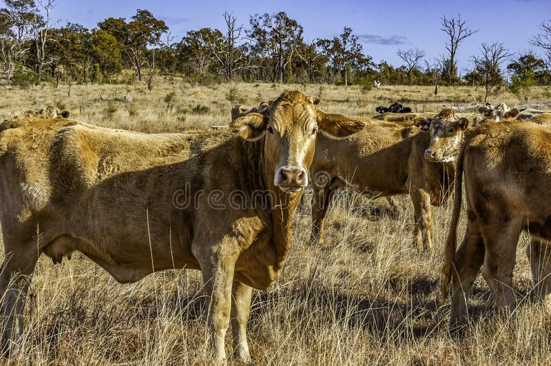 Herd of curious young Charolais cross Brahman cattle. On grazing land on an Australian cattle property, South East Queensland. Charbray, a versatile beef breed stock image