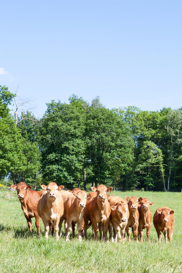 Herd of curious young Limousin cattle in a spring pasture looking at the camera stock photography