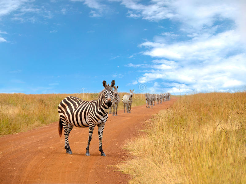 Herd of curious zebras looking and standing