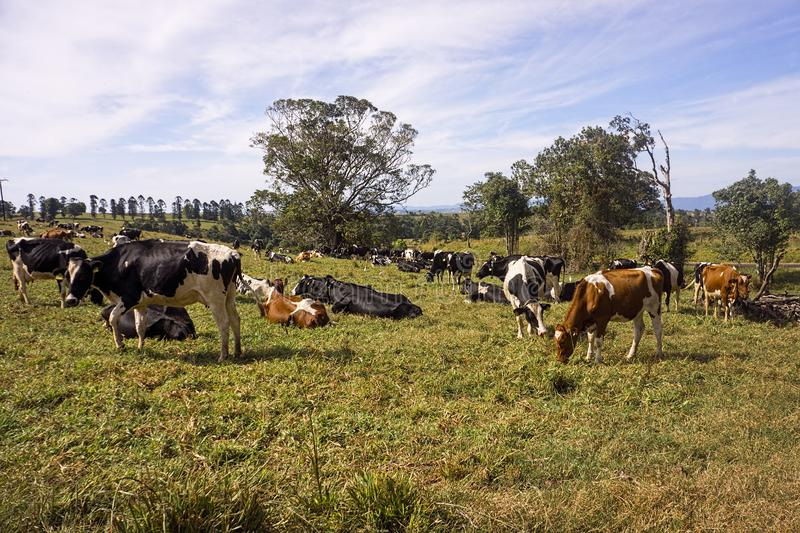 Herd of dairy cows grazing in field royalty free stock photo