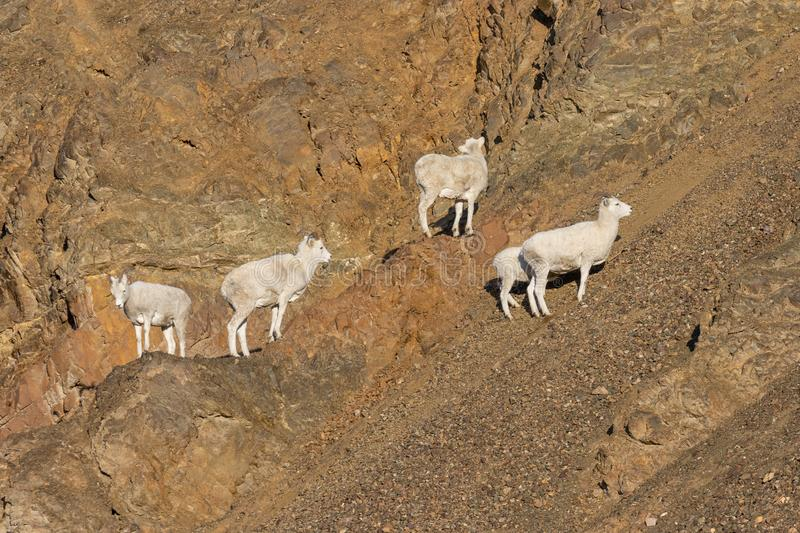 Herd of Dall Sheep Ewes in Alaska royalty free stock images
