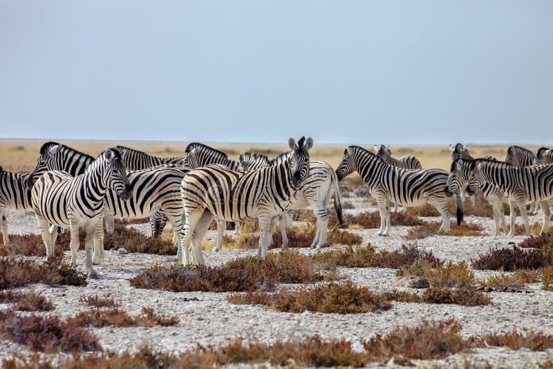 Herd Damara Zebra, Equus burchelli antiquorum, Etosha National P stock photos