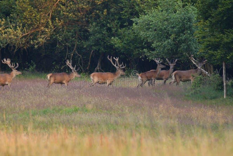 Herd of deer with antlers in the woods stock photo